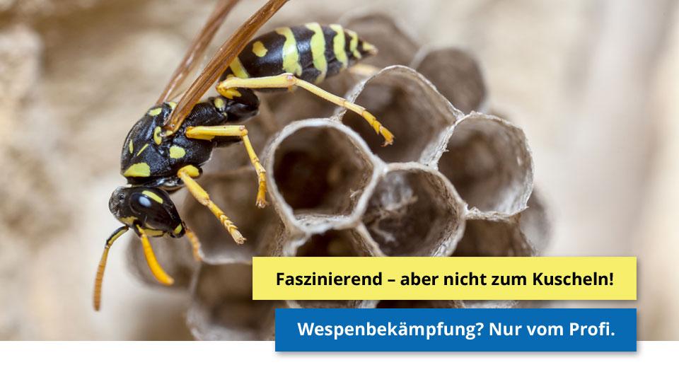 Faszinierend - aber nicht zum Kuscheln! Wespenbekämpfung? Nur vom Profi.